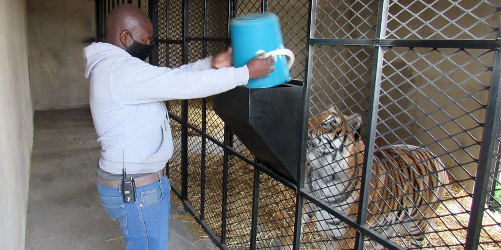 Animal caregiver feeding tiger through a chute
